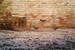 Capturadas 327 palomas en menos de tres meses, casi un cuarto de la población total