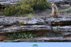 El Museo Etnológico de Alhendín inaugura una exposición dedicada al mundo del zorro